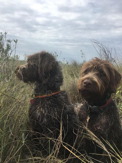 wirehaired griffon south texas